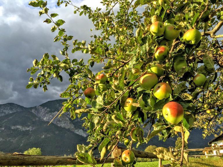 Äpfel vom Hotelgarten